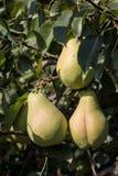 Päronet bär frukt i träd Royaltyfria Bilder