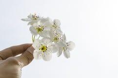 PÄRONET blomstrar närbild Royaltyfri Fotografi