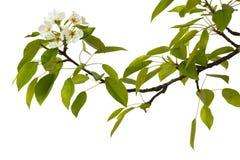 Päronfilial med blommor Arkivbilder
