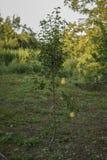 Päronplanta med två päron arkivfoton
