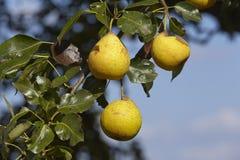 Päronträd - frukter på en filial Fotografering för Bildbyråer