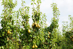 Päronträd laden med frukt i en fruktträdgård i solen Arkivbild