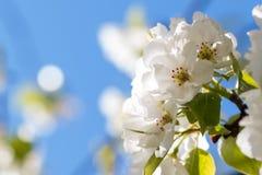 Päronträdet blommar makrofotoet arkivfoton