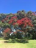 Pōhutukawa tree in New Zealand. Pōhutukawa tree in flower New Zealand stock photos