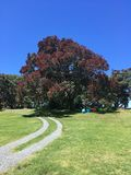 Pōhutukawa tree in New Zealand. Pōhutukawa tree in flower stock photo