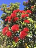 Pōhutukawa flowers in New Zealand. Pōhutukawa tree in flowers royalty free stock photos