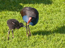 PÅ«keko. (Porphyrio melanotus), also known as the swamp hen or purple gallinule is feeding it's chick stock photography