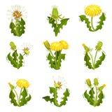 Płaski wektorowy ustawiający dandelions Dziki stado z puszystymi ziarnami Lato roślina z jaskrawymi żółtymi kwiatami Natura temat ilustracja wektor