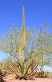 Blomma Utah Agave Royaltyfria Foton