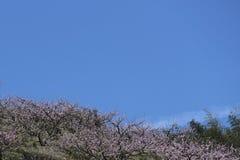 På backen är den blommande rosa persikablomningen i vår Arkivfoton