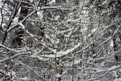 På de svarta filialerna av trädlögnerna per det tjocka lagret av snölo Arkivfoton