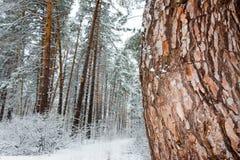 På de svarta filialerna av trädlögnerna per det tjocka lagret av snölo Arkivfoto