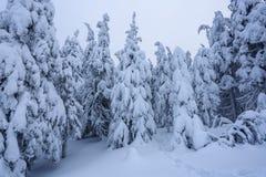 På en frostig härlig dag bland berg är magiska träd som täckas med vit fluffig snö mot idyllicllandskapet royaltyfria bilder