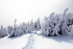 På en frostig härlig dag bland höga berg är magiska träd som täckas med vit snö Fotografering för Bildbyråer