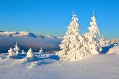 På en frostig härlig dag bland höga berg och maxima är magiska träd som täckas med vit fluffig snö Arkivbild