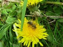 På en gul maskros ett gult bi Arkivbilder