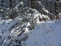 På en solig sol- värme för dagbuskar som mot efterkrav döljer under snön Arkivbild