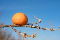 På en trädfilial är en apelsin, blå bakgrund av himlen arkivbilder