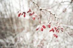 på en vit bakgrund för vinter frukterna av barberrybär som täckas med snö royaltyfri fotografi