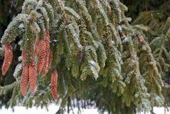 Is på ett sörjaträd Arkivfoto