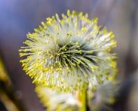 På filialerna av blomstrade gula inflorescen för pil den växt Arkivbilder