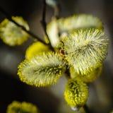 På filialerna av blomstrade gula inflorescen för pil den växt Royaltyfri Bild