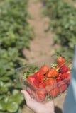 På jordgubbelantgården Royaltyfria Bilder