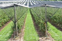 På kolonin för äppleträd i Serbien Royaltyfri Fotografi