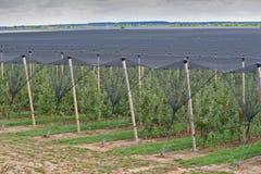 På kolonin för äppleträd i Serbien Royaltyfria Bilder