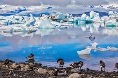 På kust- kantflock av fåglar Arkivbilder