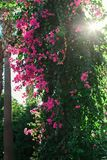 På stammen av rosa blommor för palmträd av Grekland Royaltyfri Bild