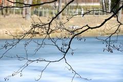 På våren har ismeltsna på sjön och knopparna inte ännu blomstrat på filialerna av trädet Arkivbilder