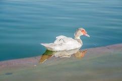 And på vatten, fågel, and, fågel på vatten Royaltyfria Bilder