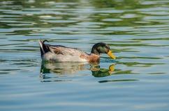 And på vatten, fågel, and, fågel på vatten Arkivbild