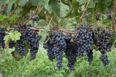 På vingården Royaltyfri Fotografi
