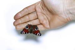Påfågelögonfjäril på en hand Arkivfoton
