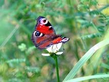 Påfågelögonfjärilen sitter på den vita blomman ovanför suddighetsgräsplanbakgrund på sommardag royaltyfria bilder