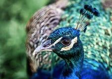 Påfågel Royaltyfria Foton