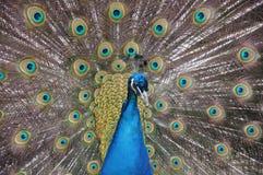 Påfågel Royaltyfri Foto