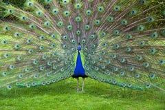 Påfågel Arkivbilder