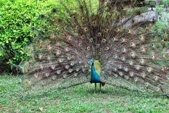 Påfågel Arkivfoto