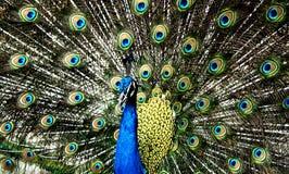 Påfågel Royaltyfri Bild