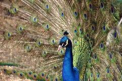 påfågel Arkivfoton