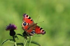 påfågel för fjärilsinachisio Royaltyfria Foton