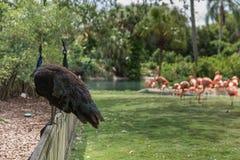 Påfågel i Busch trädgårdar Tampa Bay Florida Royaltyfri Bild
