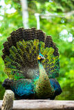 Påfågel i chiangmaizoo, chiangmai Thailand Arkivfoto