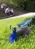 Påfågel i en parkera Fotografering för Bildbyråer