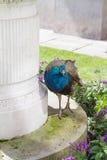 Påfågel i en parkera Royaltyfria Bilder