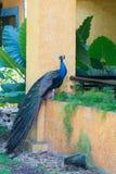 Påfågel i ett hotellträdgårdsammanträde på en balkong Royaltyfria Foton
