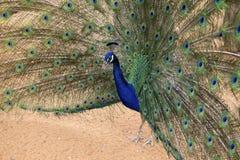 Påfågel i ett showlynne Arkivbilder